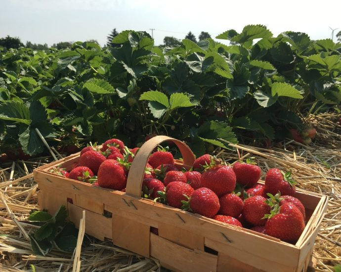 erdbeeren richtig anpflanzen