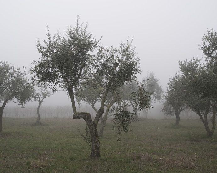olivenbaum winter
