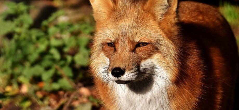 Charmant Fuchs Im Garten