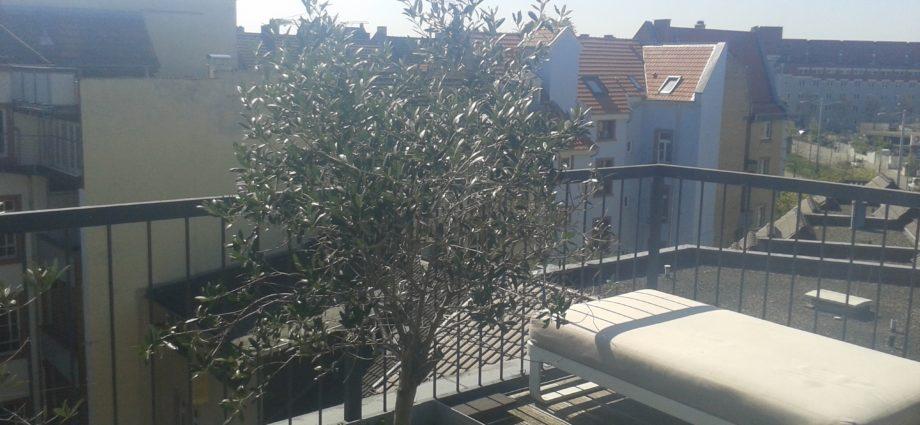 olivenernte rechen